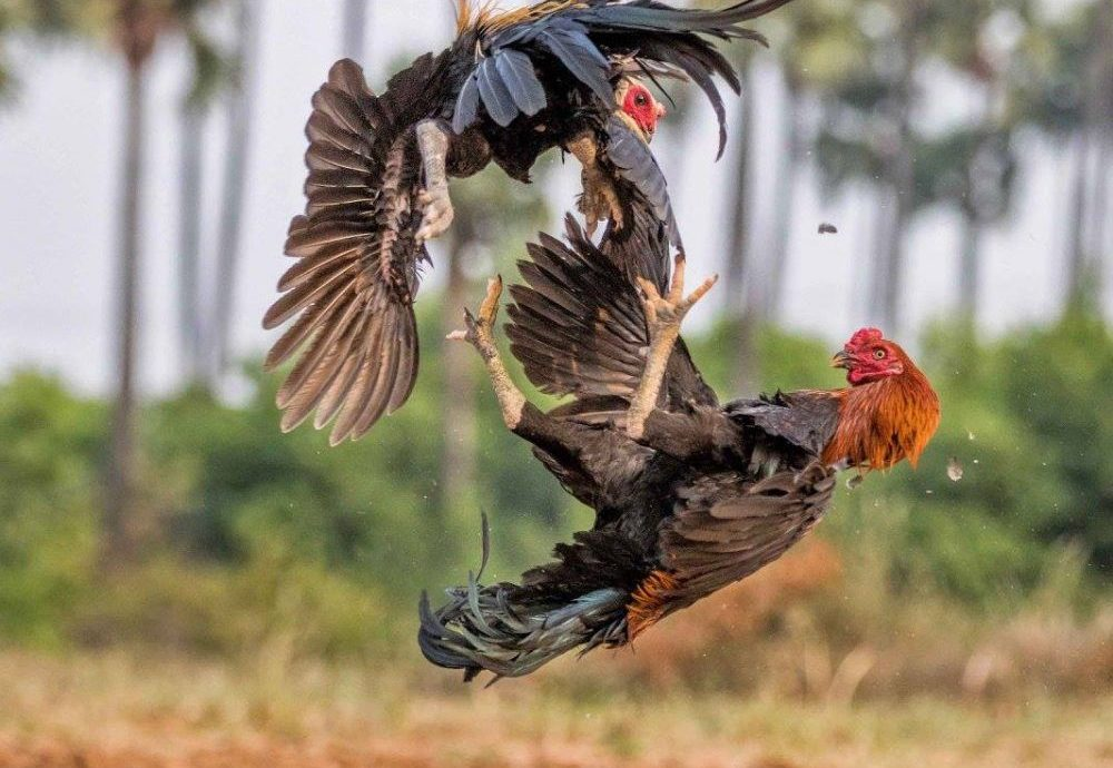 Cara Analisa Judi Sabung Ayam